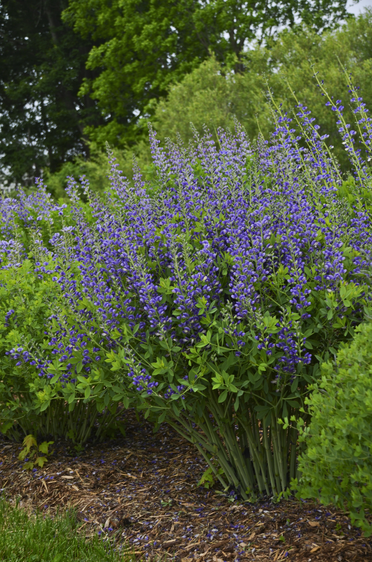 Baptisia decadence 'Blueberry Sunday'