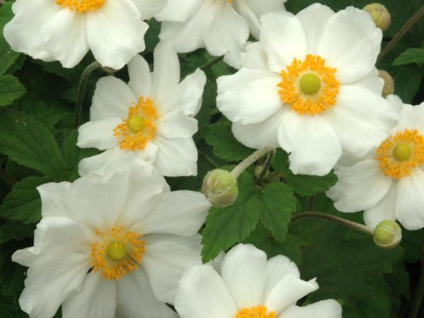 Anemone hybride (x) 'Coupe d'Argent'