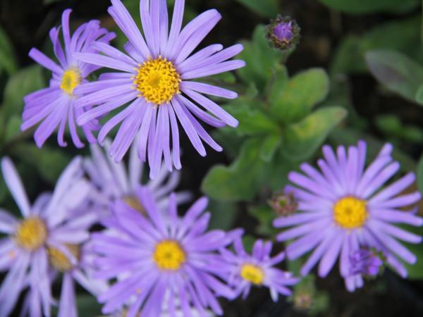 Aster amellus 'King Georges'