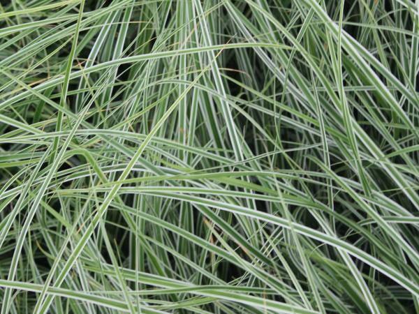 Carex oshimensis 'Everest' ('Fiwhite') PBR