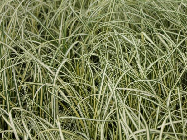 Carex oshimensis 'Evergold' 2l.